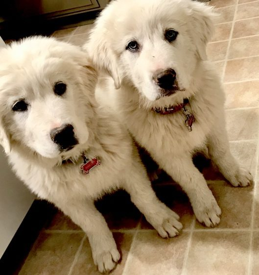 Great Pyrenees Dogs #pyrenees #dogs #puppies #ad