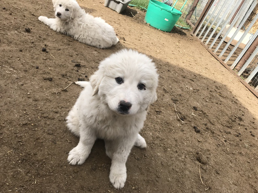 Great Pyrenees Dogs #Pyrenees #dogs #dog #puppy #puppies #ad