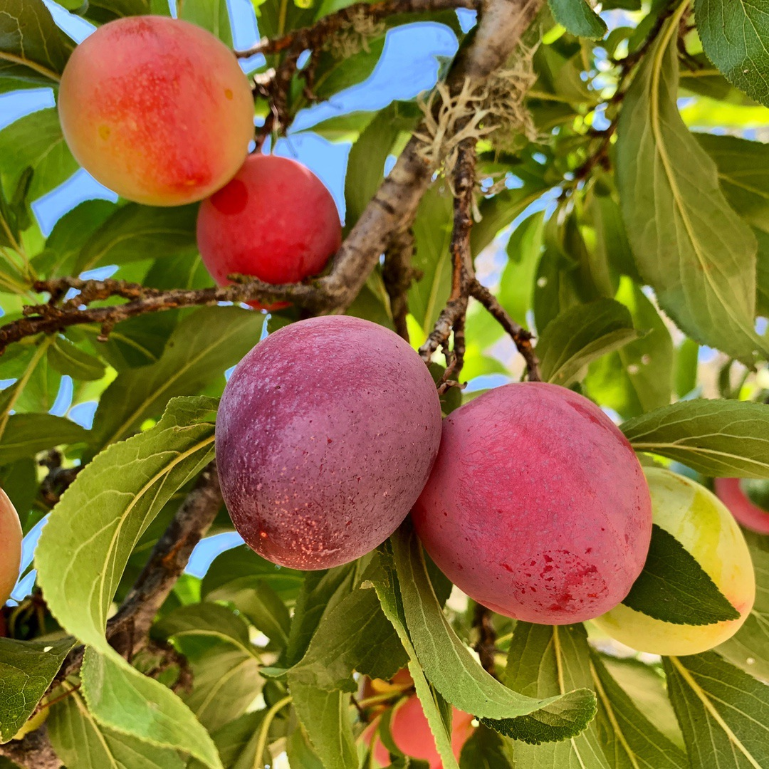plum fruit on tree